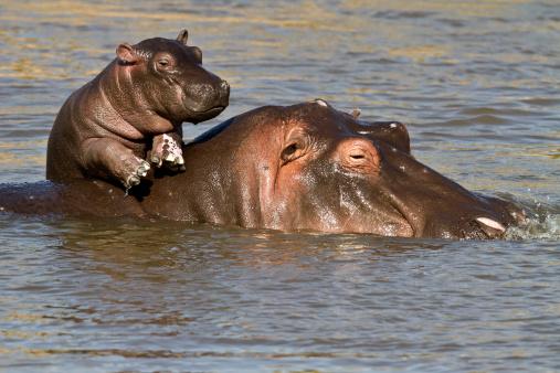 Hippopotamus「Hippo baby enjoying life on mum's back」:スマホ壁紙(10)
