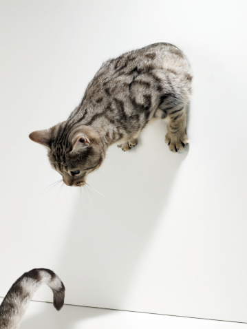 トラ猫「Silver tabby peering through hole in white wall looking down at silver tabby's tail.」:スマホ壁紙(4)