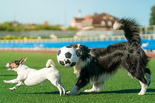 Sportsperson「Footballers Dogs Plays with Ball」:スマホ壁紙(8)