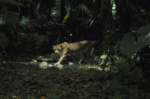 Animals Hunting「jaguar panthera onca fishing in stream belize, central america」:スマホ壁紙(15)