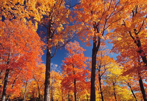 Sugar maple「Deciduous forest in autumn」:スマホ壁紙(18)
