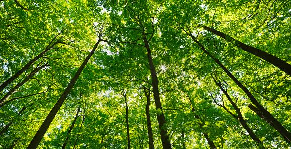 カエデ「Deciduous forest canopy」:スマホ壁紙(19)