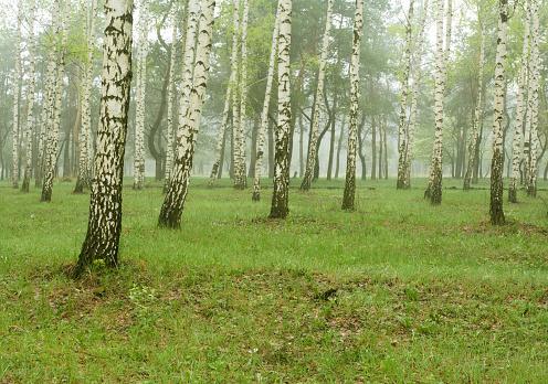 Grove「birch」:スマホ壁紙(1)