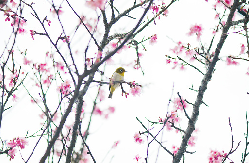 Cherry Blossom「Sakura bird perching on cherry tree branch, Okinawa, japan」:スマホ壁紙(13)
