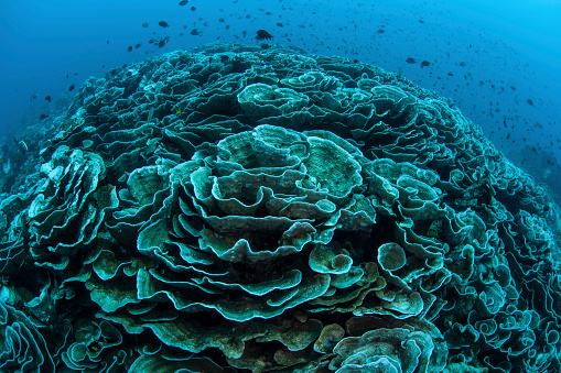 Algae「Corals are beginning to bleach on a reef in Indonesia.」:スマホ壁紙(13)