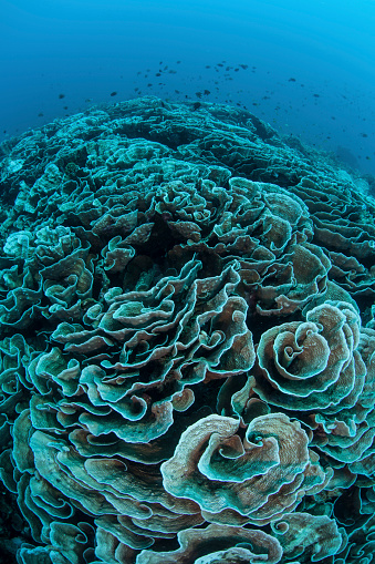Soft Coral「Corals are beginning to bleach on a reef in Indonesia.」:スマホ壁紙(3)