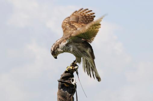 Hawk - Bird「Hawk on the Glove」:スマホ壁紙(7)