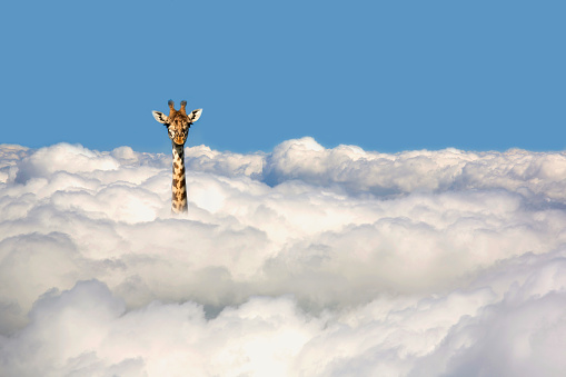 Mammal「Giraffe sticking his head out of clouds.」:スマホ壁紙(7)