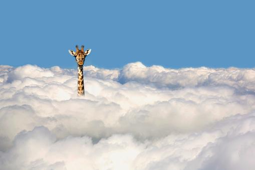 Animal「Giraffe sticking his head out of clouds.」:スマホ壁紙(16)