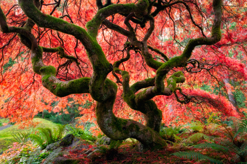 Japanese Maple「Majestic Japanese Maple with vibrant colors」:スマホ壁紙(1)
