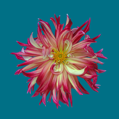 Softness「Red & yellow dahlia flower in close-up, on blue green square.」:スマホ壁紙(18)