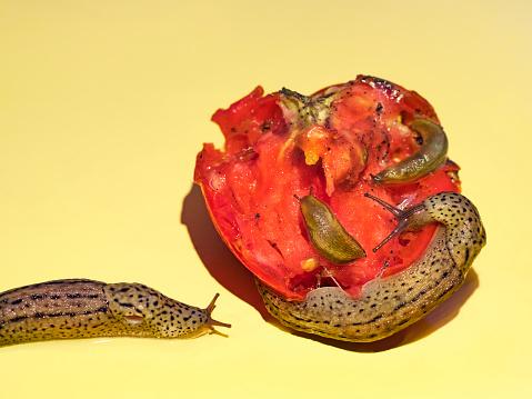 ナメクジ「Slugs feeding on fresh garden tomato on yellow background」:スマホ壁紙(17)