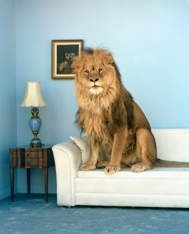 Tame「Lion sitting on couch」:スマホ壁紙(10)
