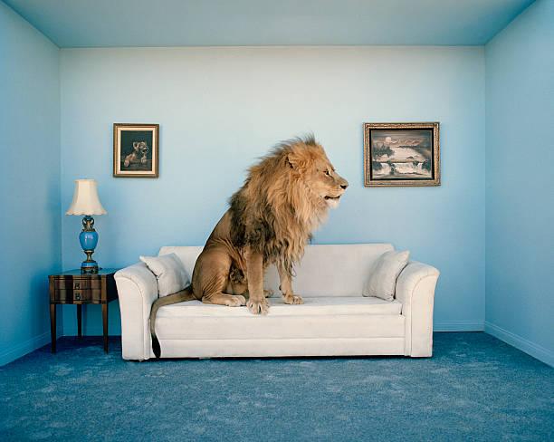 Lion sitting on couch, side view:スマホ壁紙(壁紙.com)