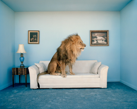 Domestic Animals「Lion sitting on couch, side view」:スマホ壁紙(4)