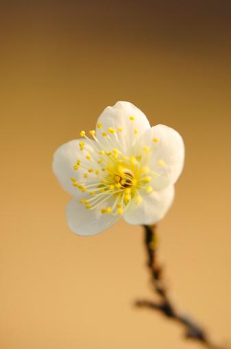 梅の花「Single Plum Flower」:スマホ壁紙(4)