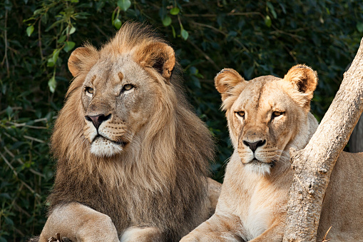 Lioness - Feline「Lion Couple」:スマホ壁紙(5)