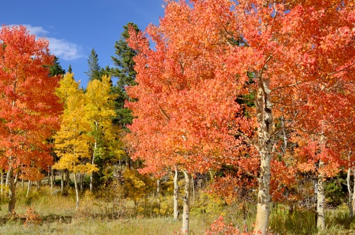 Arapaho National Forest「Colorado Aspens in Autumn」:スマホ壁紙(8)