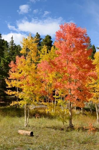 Arapaho National Forest「Colorado Aspens in Autumn」:スマホ壁紙(6)