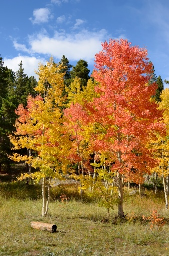 Aspen Tree「Colorado Aspens in Autumn」:スマホ壁紙(8)