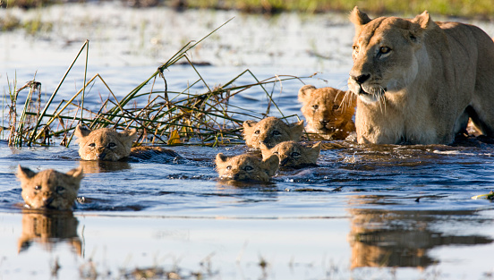 Delta「Litter of lion cubs swimming with their mother」:スマホ壁紙(19)