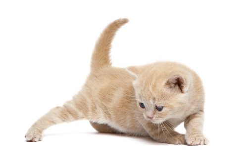 Crawling「Cute British Shorthair kitten」:スマホ壁紙(9)