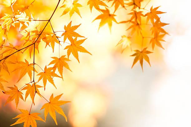 Shining Autumn Japanese Maple Leaves:スマホ壁紙(壁紙.com)