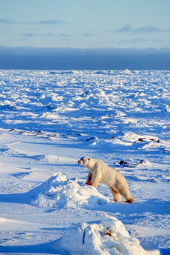 Polar Bear「One Wild Polar Bear Awaking from a Sleep」:スマホ壁紙(5)