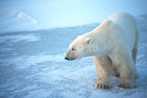 Polar Bear「One Wild Polar Bear Standing on Icy Hudson Bay」:スマホ壁紙(8)