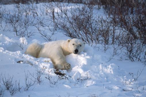 Polar Bear「One Wild Polar Bear Lying in Hudson Bay Willows」:スマホ壁紙(18)