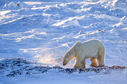 Manitoba「One Wild Polar Bear Walking on Snowy Hudson Bay Shore」:スマホ壁紙(12)