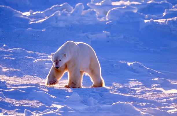 One Wild Polar Bear Walking on Icy Hudson Bay:スマホ壁紙(壁紙.com)