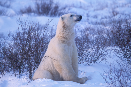 Polar Bear「One Wild Polar Bear Siting in Hudson Bay Willows」:スマホ壁紙(5)