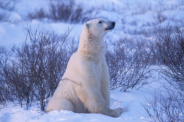 One Wild Polar Bear Siting in Hudson Bay Willows:スマホ壁紙(壁紙.com)