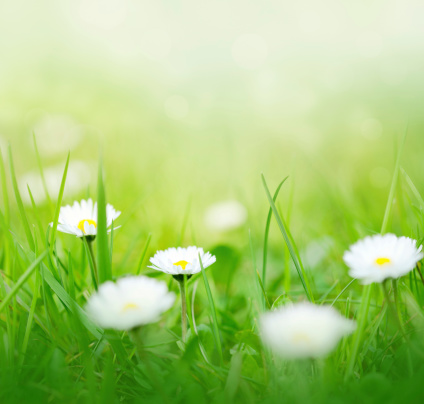 季節「春のデイジー」:スマホ壁紙(19)