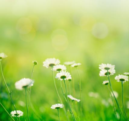 花畑「春のデイジー」:スマホ壁紙(11)