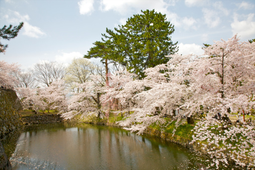 Cherry Blossom Festival「White cherry blossom trees above calm waters」:スマホ壁紙(19)