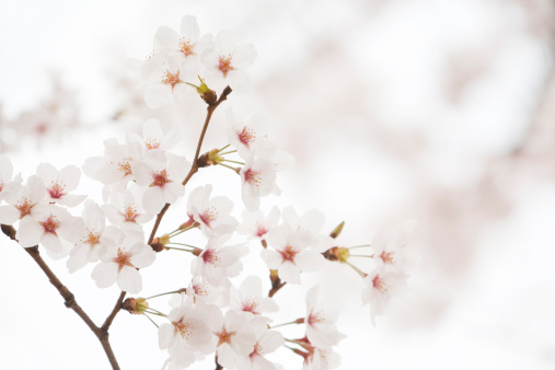 Cherry Tree「White Cherry Blossoms」:スマホ壁紙(13)