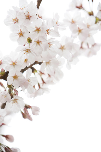 Cherry Blossoms「White Cherry Blossoms」:スマホ壁紙(9)