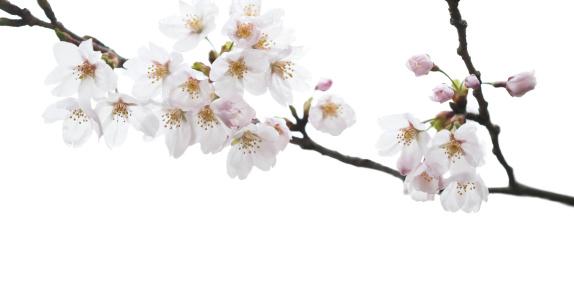 Cherry Blossom「白桜の」:スマホ壁紙(5)