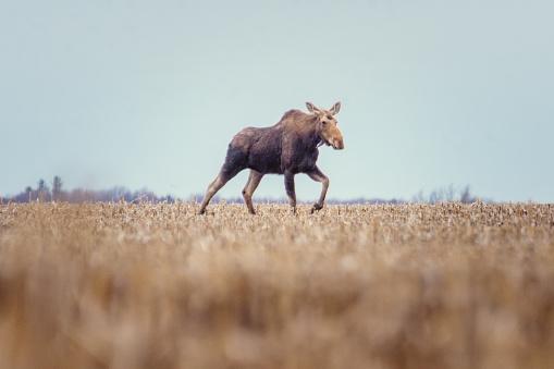 Montérégie「Moose female in a field in spring」:スマホ壁紙(12)