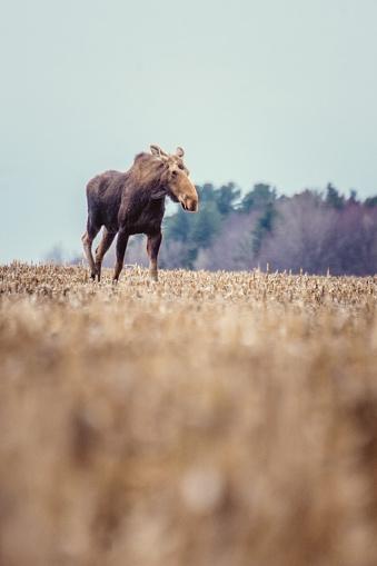 Montérégie「Moose female in a field in spring」:スマホ壁紙(14)