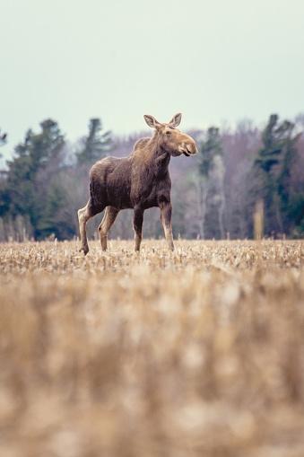 Montérégie「Moose female in a field in spring」:スマホ壁紙(13)