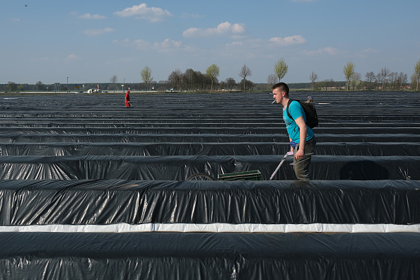 Asparagus「Asparagus Season Underway In Beelitz Region」:写真・画像(12)[壁紙.com]