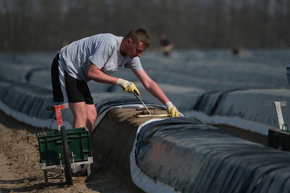 Asparagus「Asparagus Season Underway In Beelitz Region」:写真・画像(11)[壁紙.com]