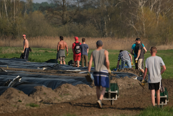 Asparagus「Asparagus Season Underway In Beelitz Region」:写真・画像(13)[壁紙.com]