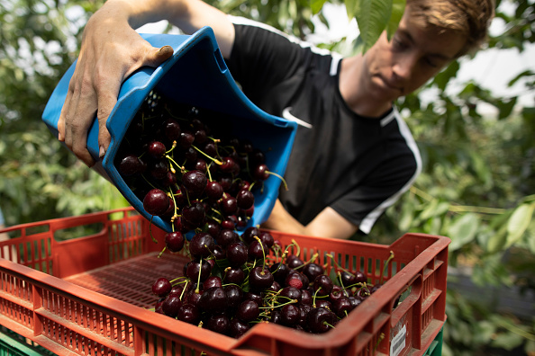 Season「Cherries Harvested In The UK」:写真・画像(16)[壁紙.com]