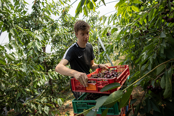 Season「Cherries Harvested In The UK」:写真・画像(3)[壁紙.com]
