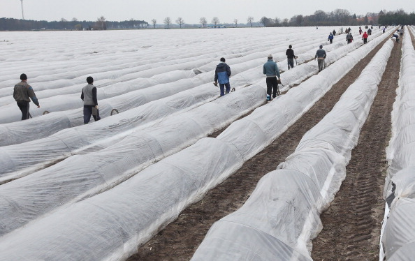 Asparagus「Asparagus Harvest Begins In Beelitz Region」:写真・画像(10)[壁紙.com]