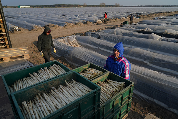Asparagus「Farmers, Dependent On Foreign Workers, Face Uncertainty During Coronavirus Crisis」:写真・画像(4)[壁紙.com]